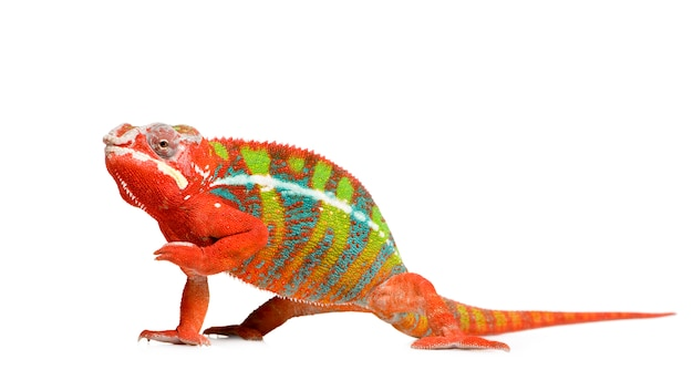 Chameleon furcifer pardalis - ambilobeon biały na białym tle