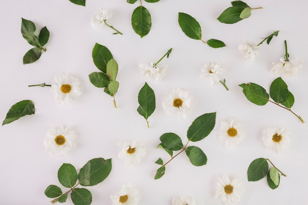 Chamomiles i liści na białym tle