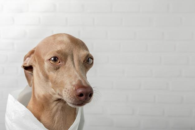 Charcik włoski pies bawi się rolkami papieru toaletowego