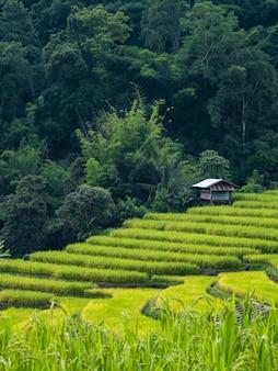 Chata w polu ryżu rano