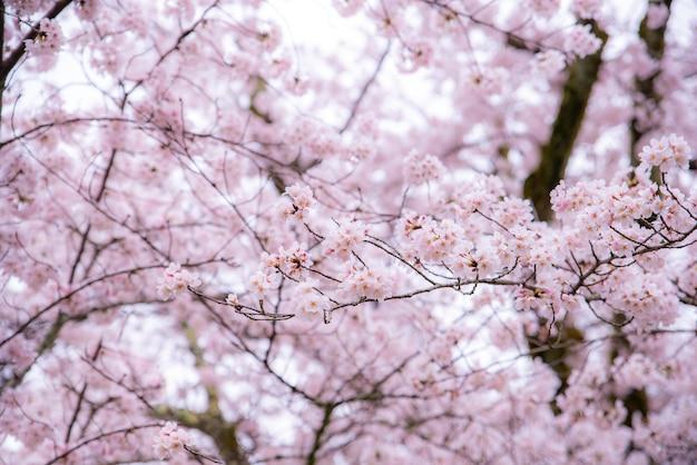 Cherry blossom na wiosnę z nieostrością, sezonem sakura w korei południowej i japonii.