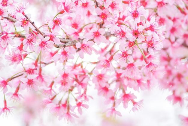 Cherry blossom na wiosnę z nieostrością