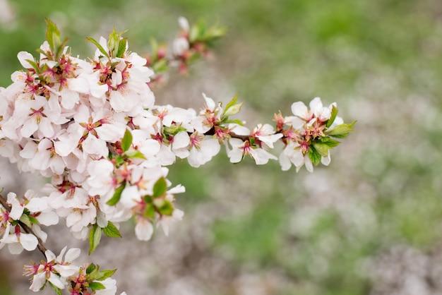 Cherry blossom trees, nature and spring time background. różowe kwiaty sakura