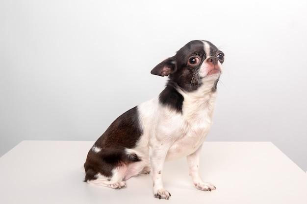 Chia hua hua na białym tle, mały pies, pies na stole, pies u weterynarza
