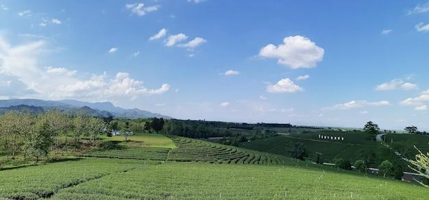 Chiangrai, tajlandia - 6 czerwca 2019: widok na plantację herbaty choui fong