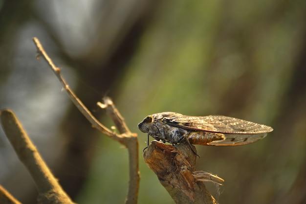 Chicharra (cicada orni)