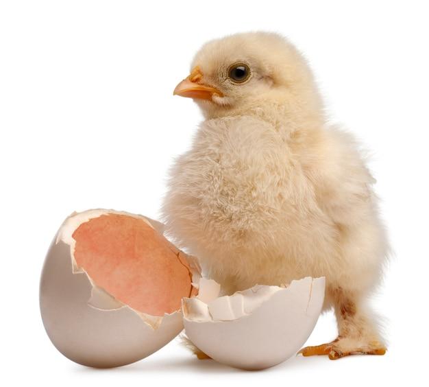 Chick of pekin to rasa kurczaka bantam - gallus gallus domesticus stojąca obok własnego jajka