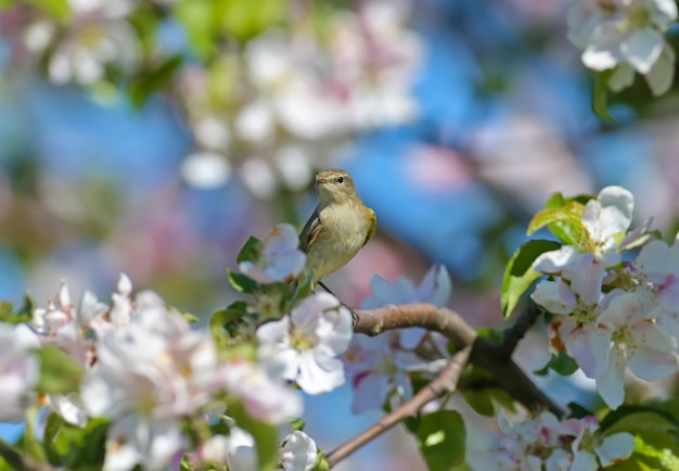 Chiffchaff pospolita (phylloscopus collybita) w miękkim słońcu na gałęziach kwitnącej dzikiej jabłoni