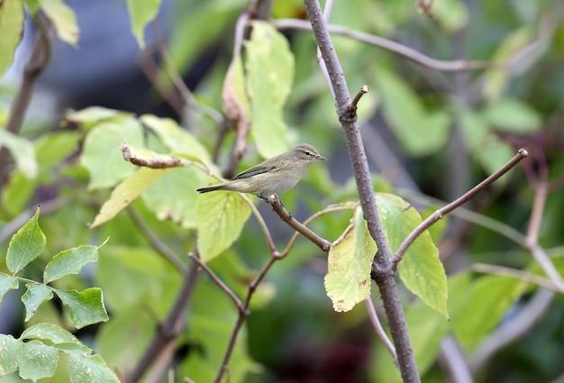 Chiffchaff pospolita (phylloscopus collybita) w upierzeniu zimowym, zbliżenie na gałęzie z czarnymi jagodami bzu