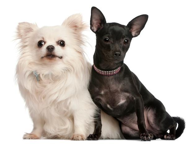 Chihuahua, 8 lat i 7 miesięcy, siedzi