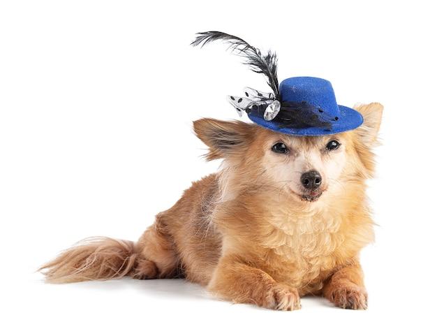 Chihuahua długowłosa w niebieskim kapeluszu na białej ścianie