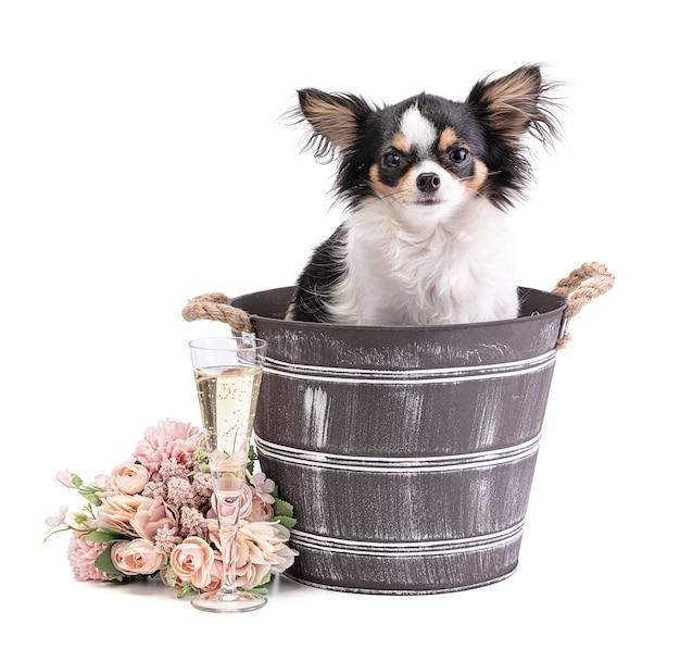 Chihuahua długowłosy w wiadrze z różowymi kwiatami na białym