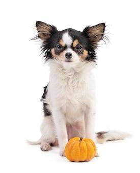 Chihuahua i jack be little, dynia pomarańczowa na białym tle