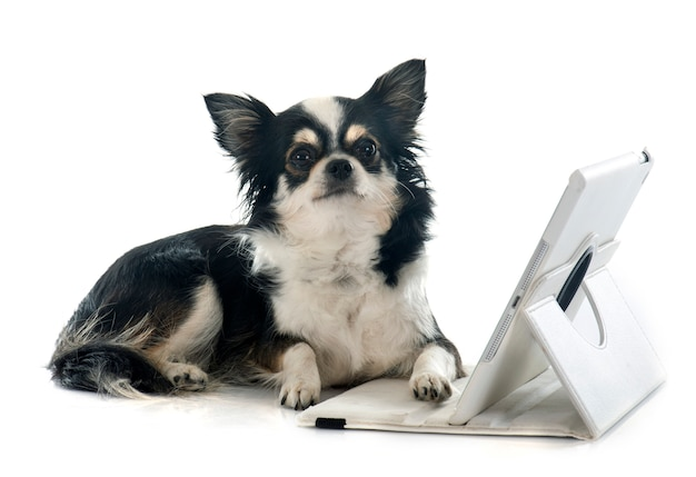 Chihuahua i komputer
