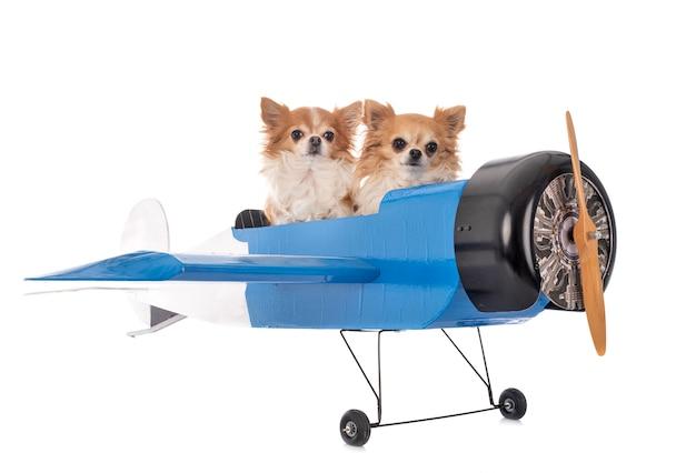 Chihuahua i samolot