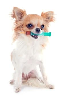 Chihuahua i strzykawka