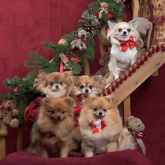 Chihuahua i szpic niemiecki w ozdób choinkowych