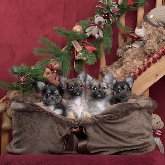 Chihuahua i szpic niemiecki z dekoracjami świątecznymi