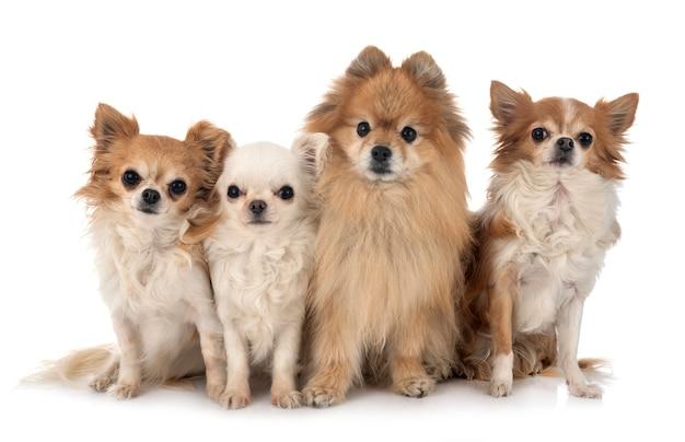 Chihuahua i szpic odizolowywający na białym tle