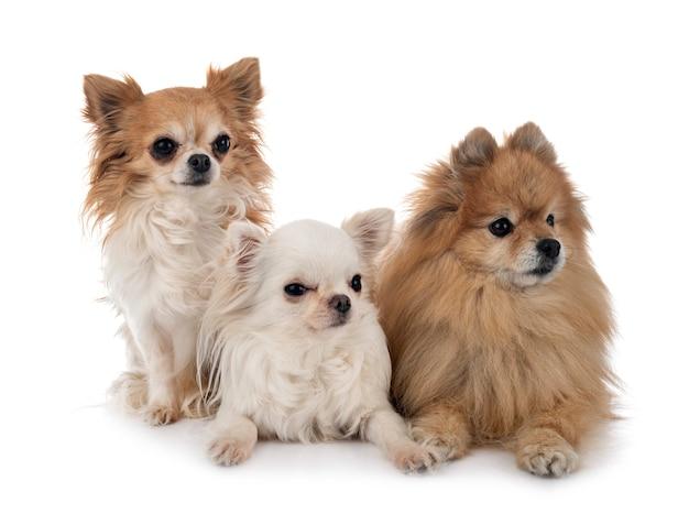 Chihuahua i szpice