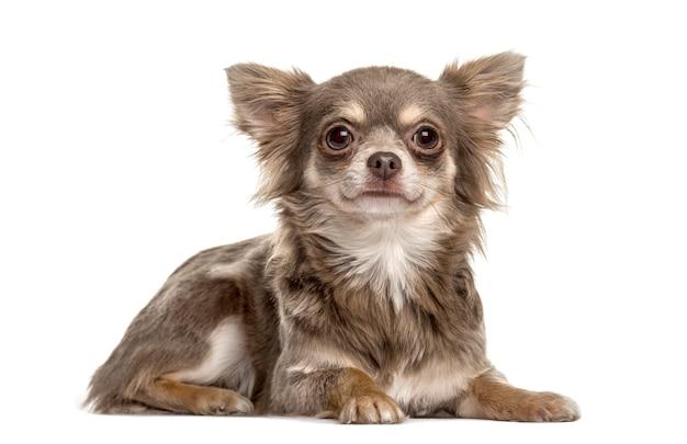Chihuahua leżącego, na białym tle