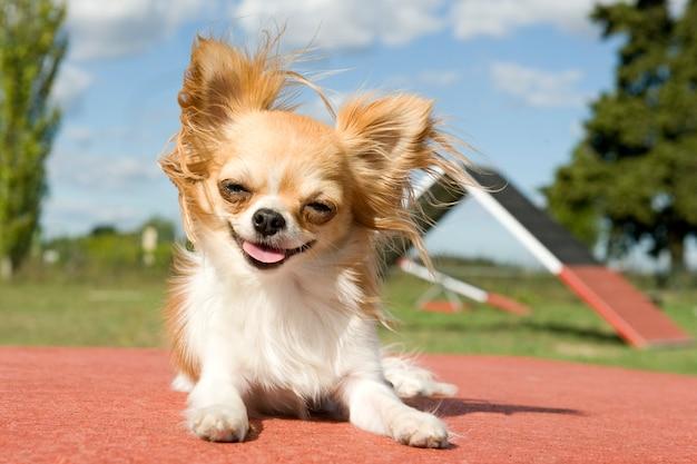 Chihuahua leży ze szczęśliwą uśmiechniętą twarzą