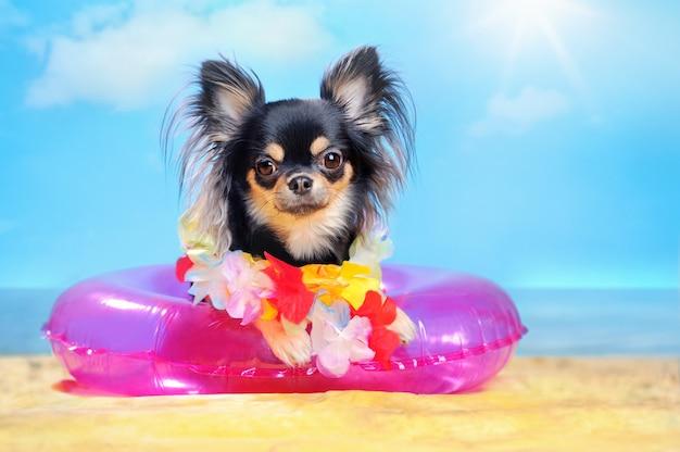 Chihuahua ma odpoczynek przy denną plażą na pływanie pierścionku