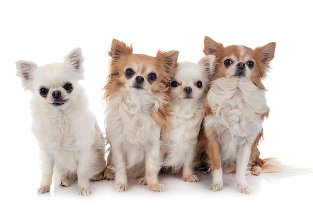 Chihuahua na białym tle