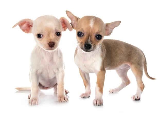 Chihuahua na biel ścianie