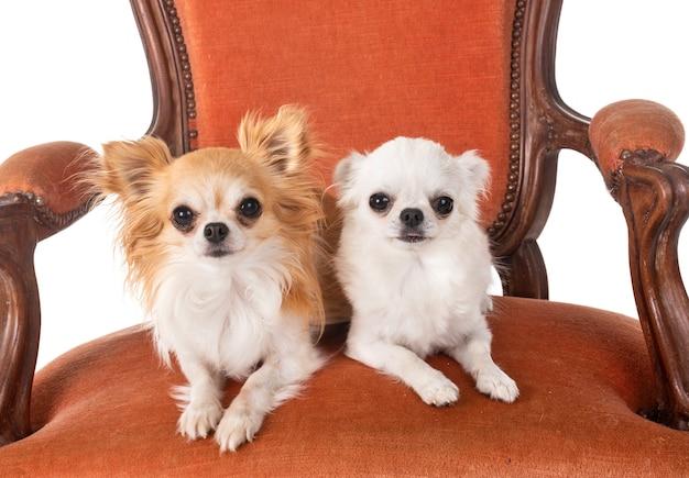 Chihuahua na fotelu