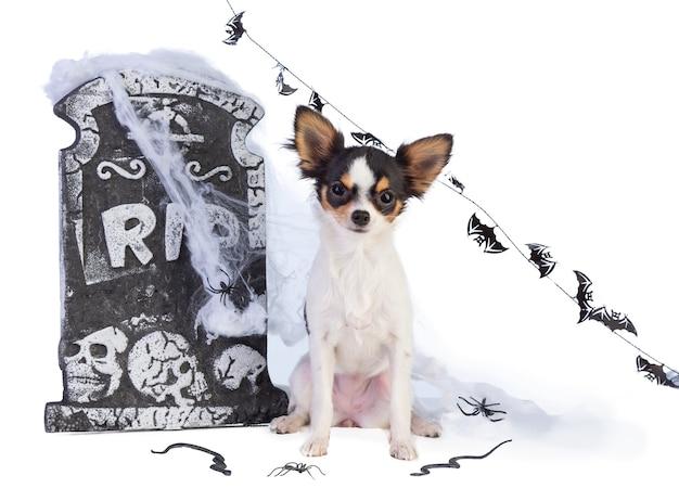 Chihuahua na halloween z wystrojem nagrobka na białym na białym tle