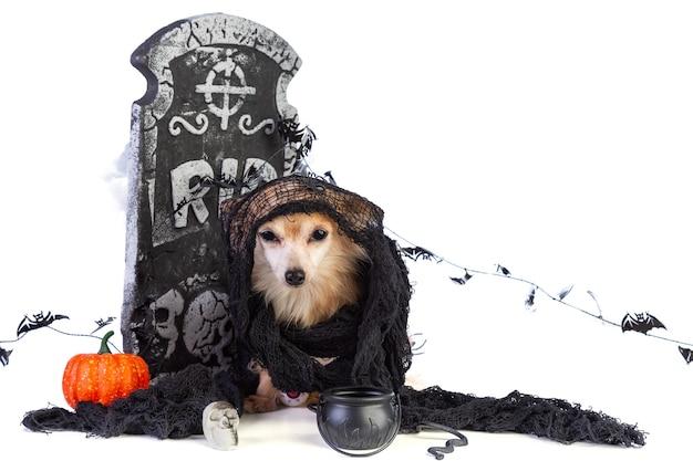 Chihuahua na halloween z wystrojem nagrobka na białym pokoju