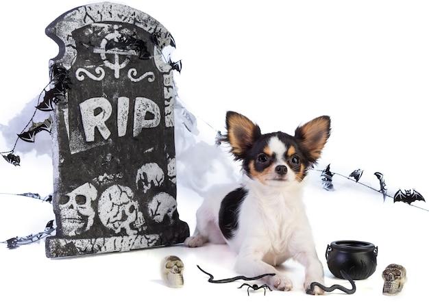 Chihuahua na halloween z wystrojem nagrobka na białym tle