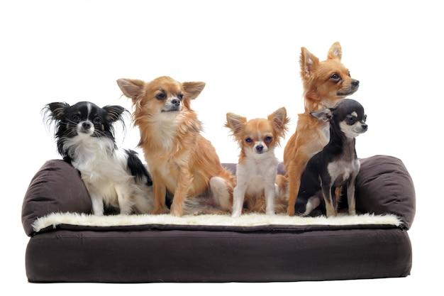 Chihuahua na kanapie