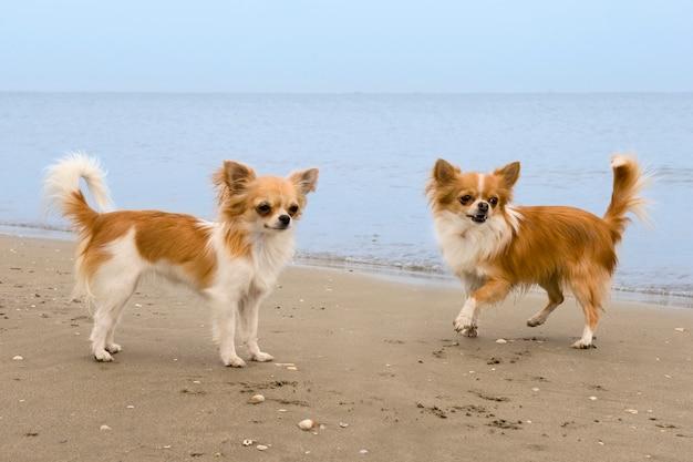 Chihuahua na plaży