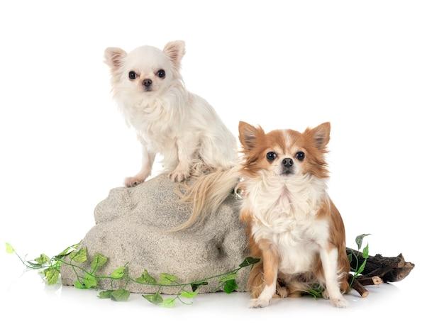 Chihuahua na skale na białym tle