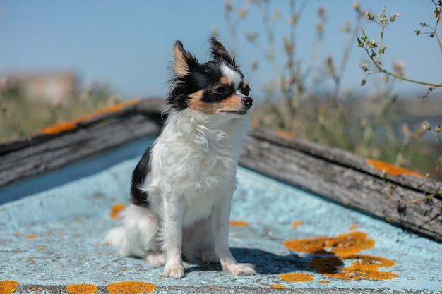Chihuahua na starej błękitnej łodzi rybackiej