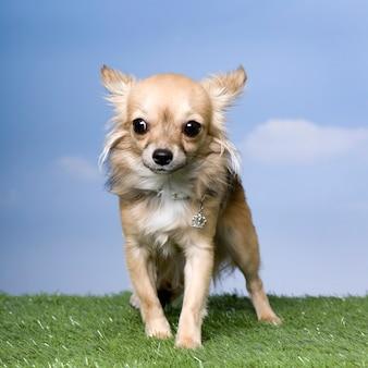 Chihuahua na trawie przeciw niebieskiemu niebu