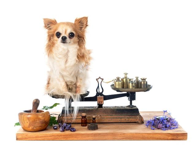 Chihuahua na wadze robervala na białym tle