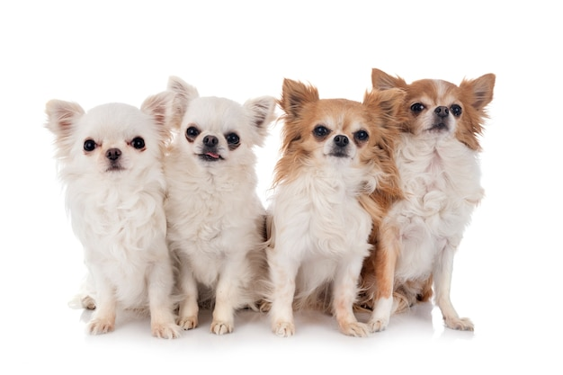 Chihuahua odizolowywający na białym tle