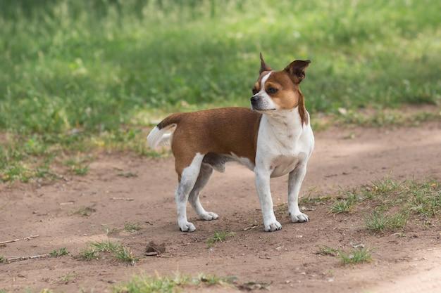 Chihuahua pies stojący na wiejskiej drodze w letni dzień