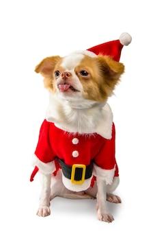 Chihuahua pies w bożenarodzeniowym kostiumu na białym tle.