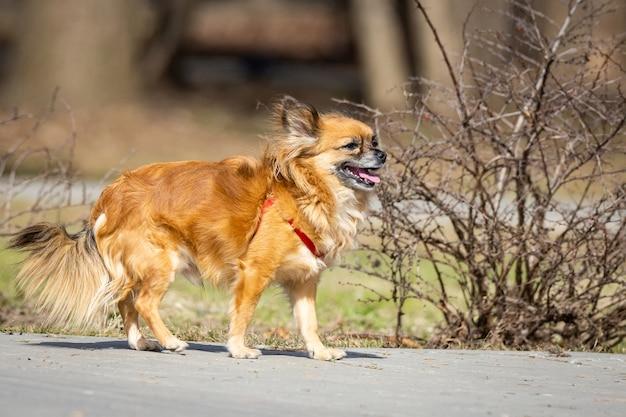 Chihuahua pies w parku
