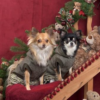 Chihuahua pozuje, w ozdób choinkowych