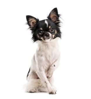 Chihuahua przed białą ścianą