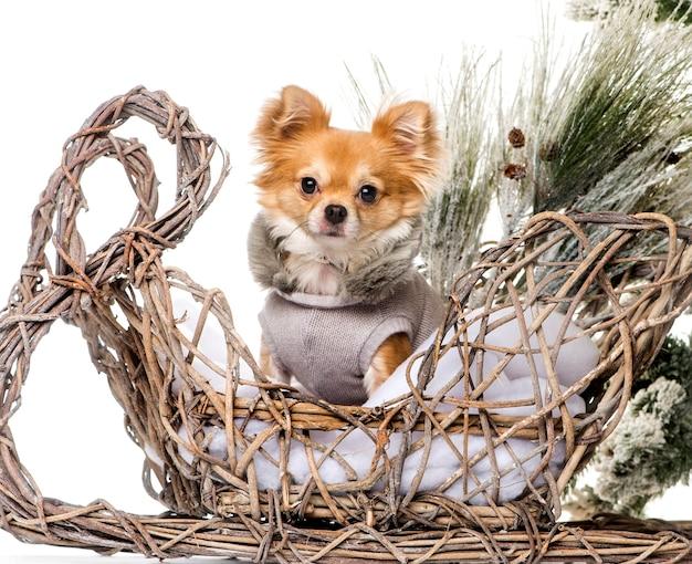 Chihuahua przed świąteczną scenerią