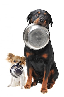 Chihuahua rottweiler i miska na jedzenie