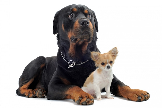 Chihuahua rottweiler i szczeniak