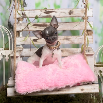 Chihuahua siedząca na różanej poduszce w dekoracji pasterskiej