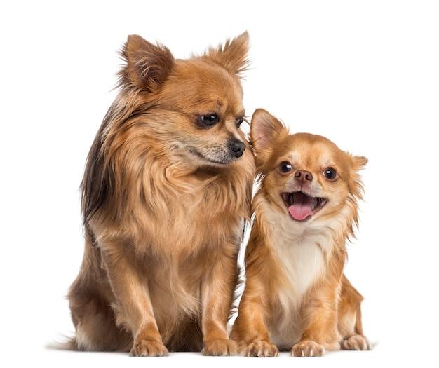 Chihuahua siedzi i patrzy na szczęśliwego chihuahua